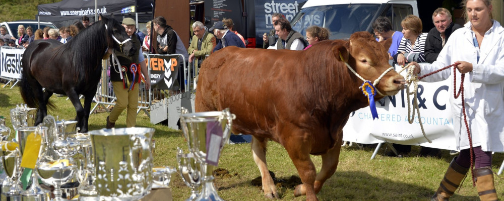 Cattle with trophies